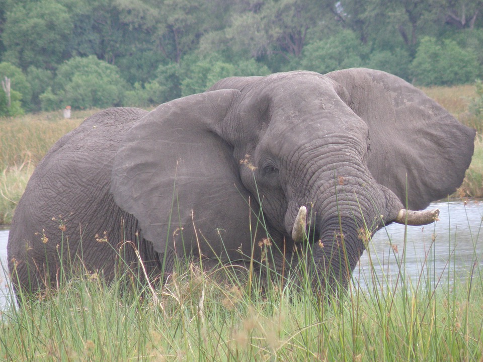 Elephant, Wildlife, Wild, Animal, Tusker, Large, Mammal