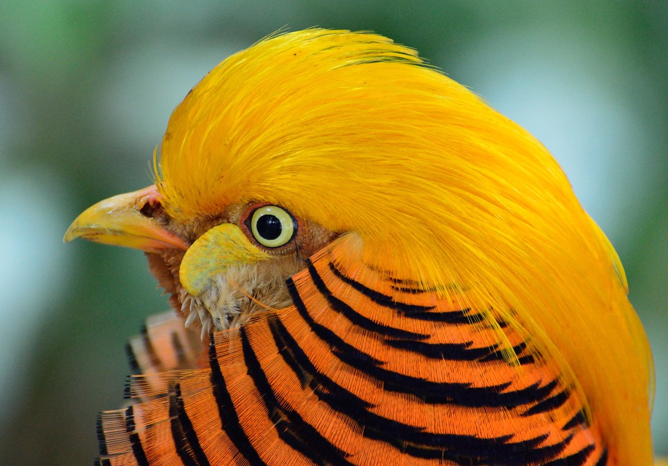 Golden Pheasant, Bird, Exotic, Wildlife, Nature
