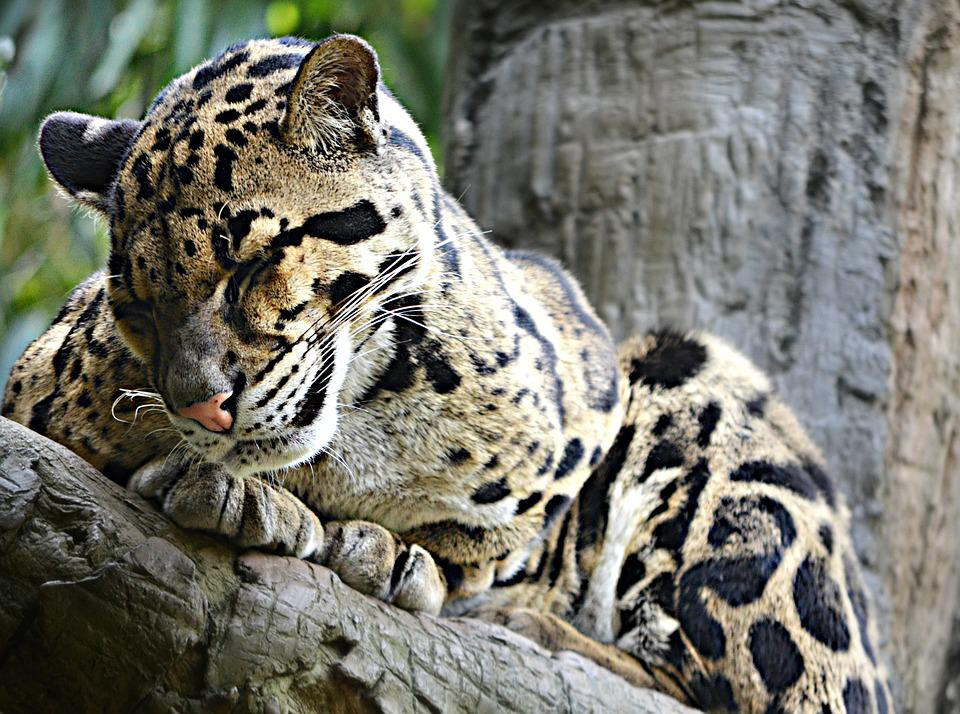 Sleepy, Leopard, Feline, Nature, Wildlife, Hunter