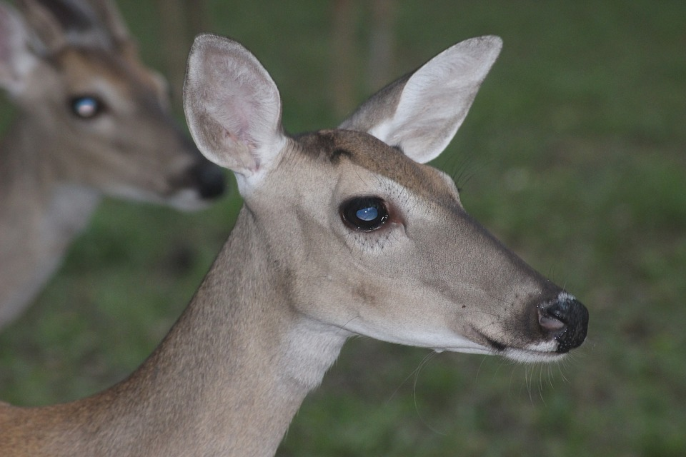 Deer, Doe, Nature, Wildlife, Animal, Female, Closeup