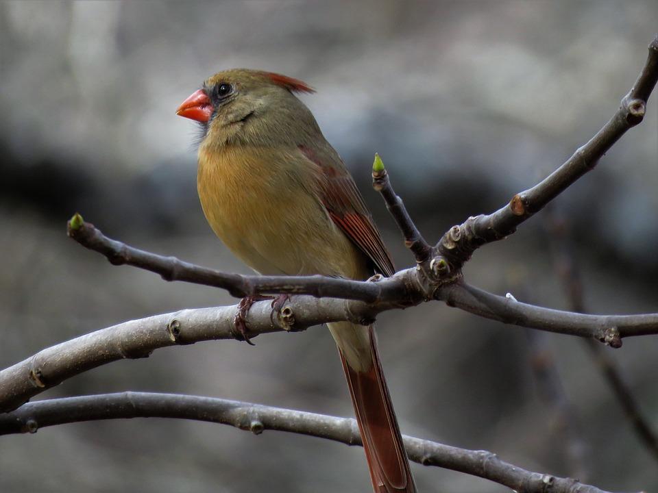 Nature, Bird, Outdoors, Wildlife, Female Cardinal