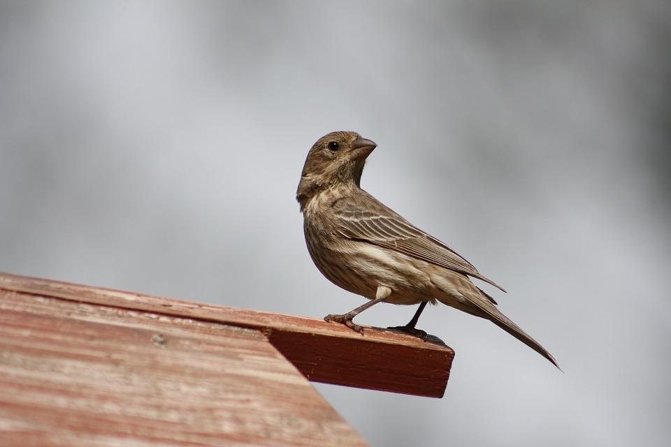 Bird, Nature, Outdoors, Wildlife, Female House Finch