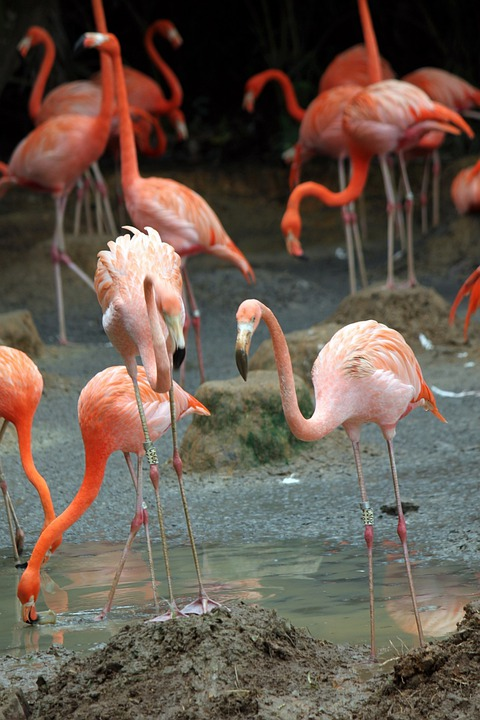 Flamingos, Flock, Bird, Fly, Wings, Feather, Wildlife