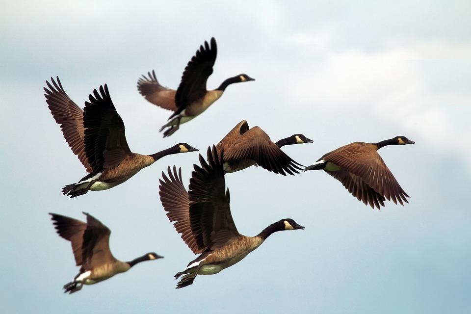 Geese, Birds, Flock, Wildlife, Flying, Formation