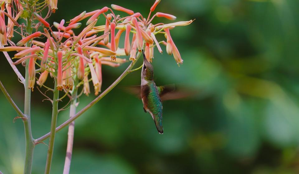 Hummingbird, Wildlife, Natural, Flowers, Closeup, Tiny