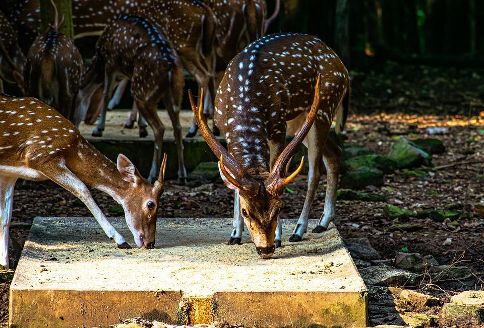 Animal, Deer, Wildlife, Forest, Mammal, Fauna, Species