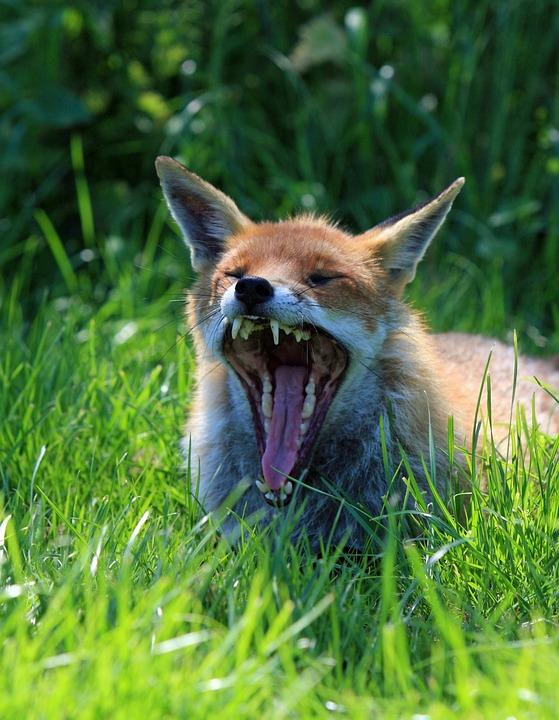 Fox, Animal, Wild, Wildlife, Red, Red Fox, Close-up