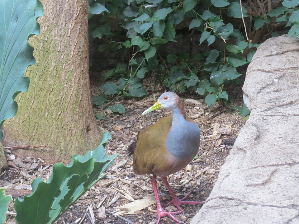 Giant Wood Rail, Bird, Fly, Wings, Feather, Wildlife