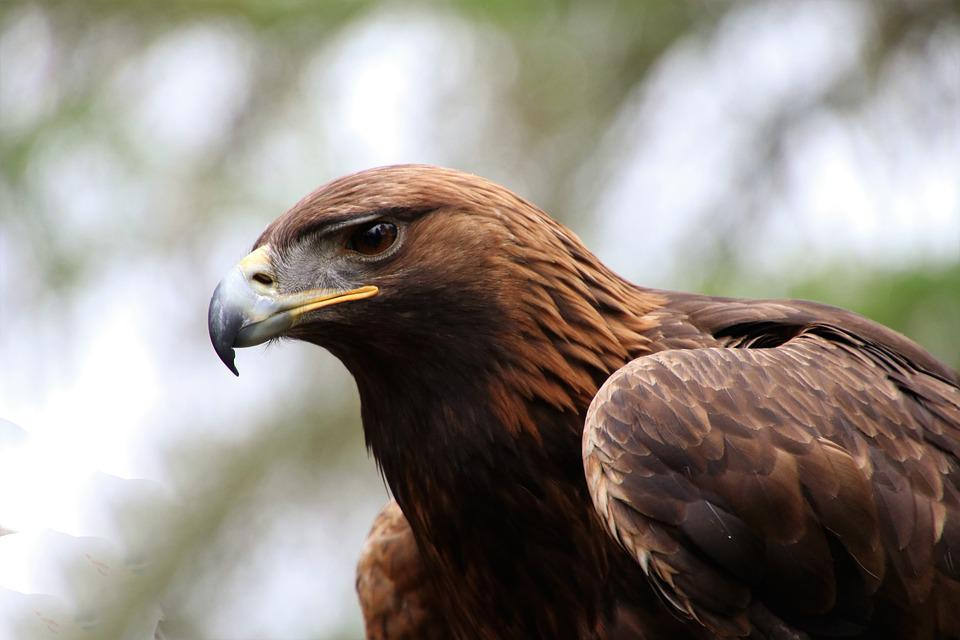 Golden Eagle, Eagle, Golden, Bird, Nature, Wildlife