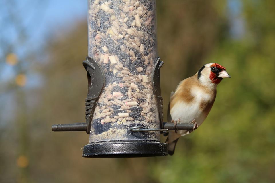 Goldfinch, Garden Bird, Bird, Garden, Wildlife, Nature