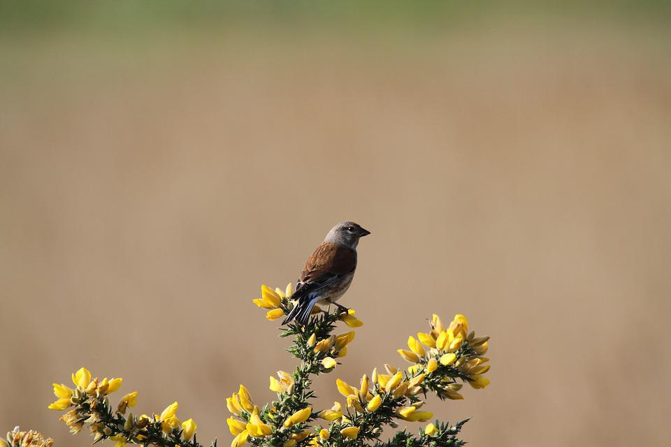 Linnet, Bird, Gorse, Fauna, Perching, Wildlife, Finch