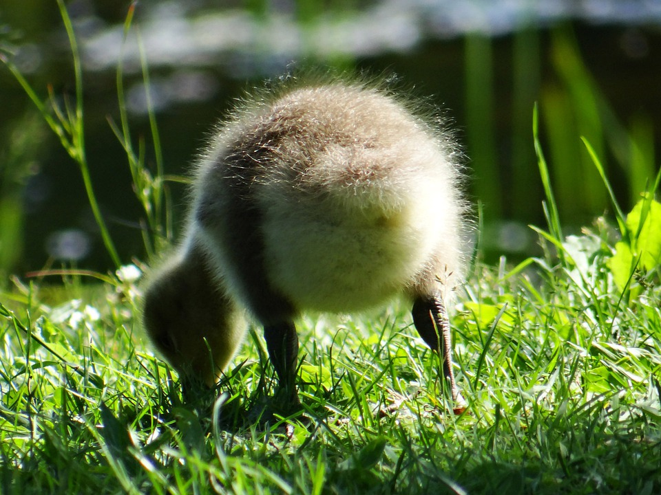 Gosling, Goose, Baby, Wildlife, Young, Wild, Feathers