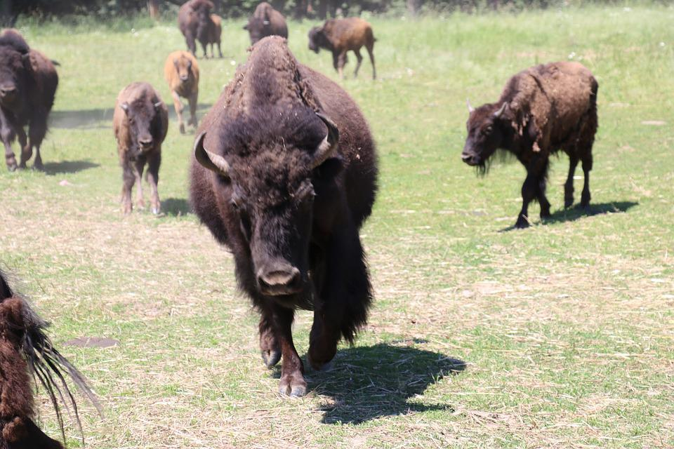 Buffalo, Bison, Animal, Wildlife, Grass, Cattle
