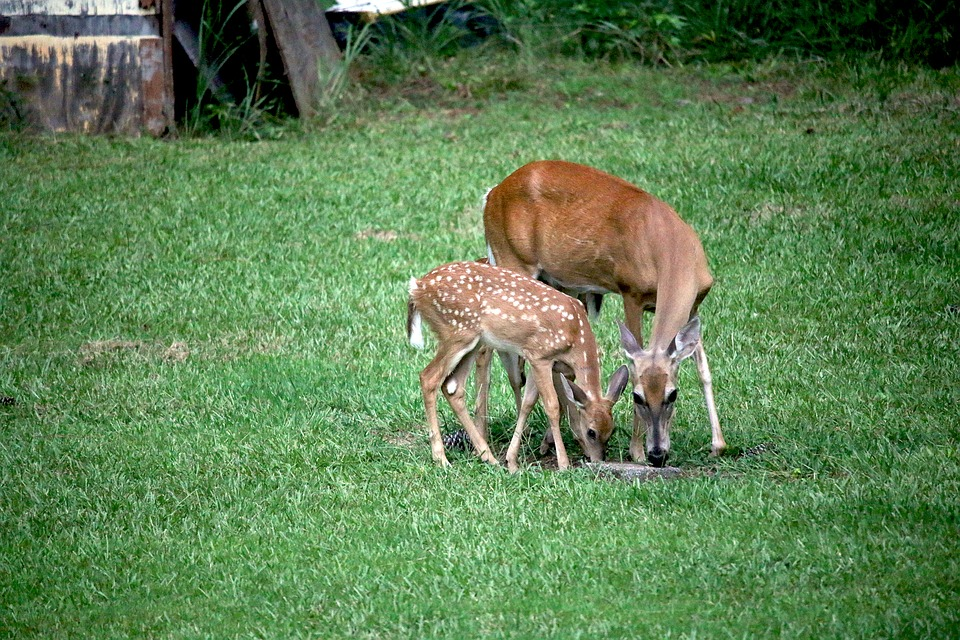 Deer, Fawn, Doe, Grass, Nature, Animal, Wildlife