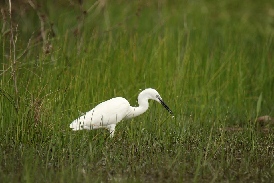 Bird, Little Egret, Nature, White, Wildlife, Grass