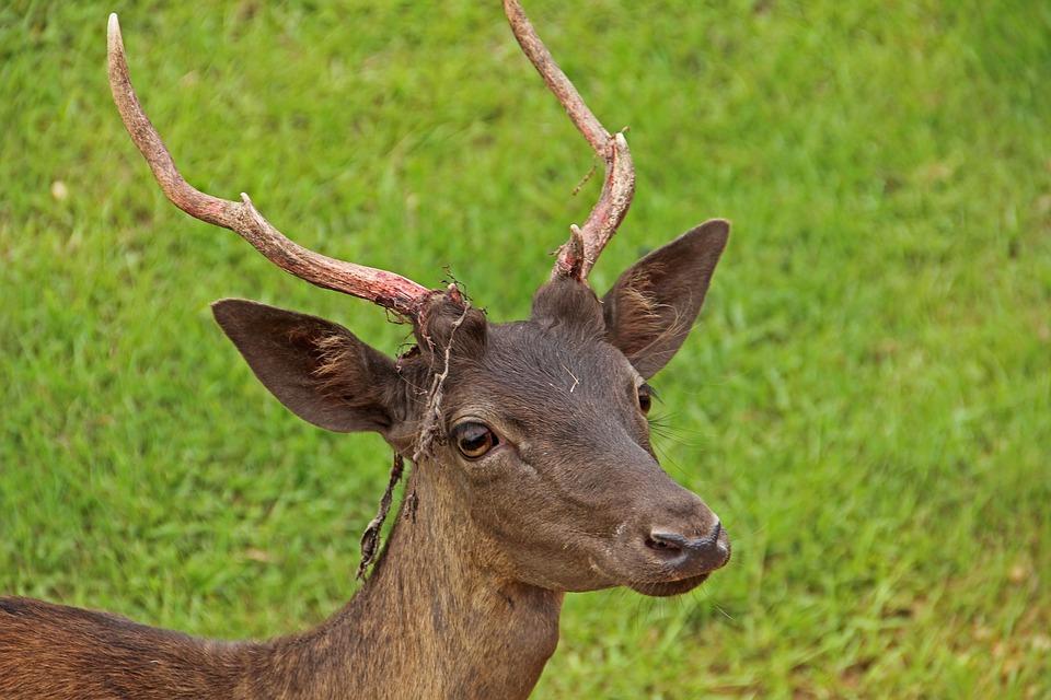 Antlers, Wildlife, Deer, Nature, Field, Grazing, Animal