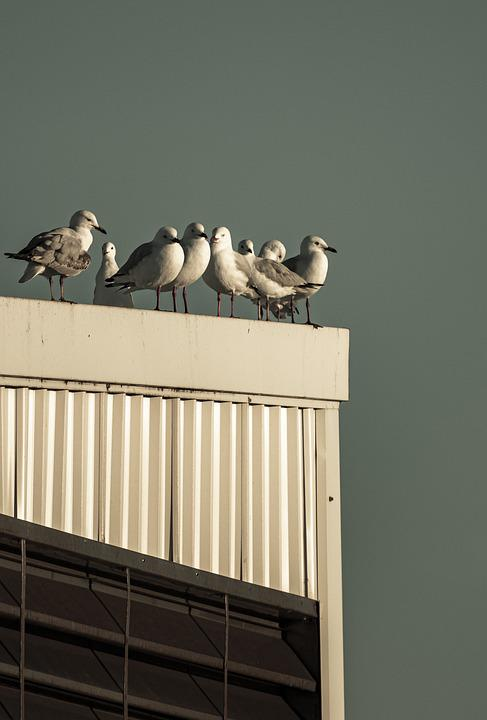 Seagulls, Birds, Flock, Animals, Wildlife, Gulls