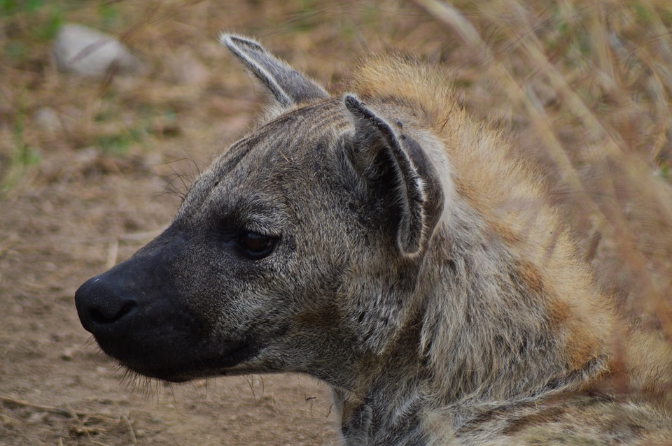 Hyena, Africa, Wildlife, Nature, Animals, Predator