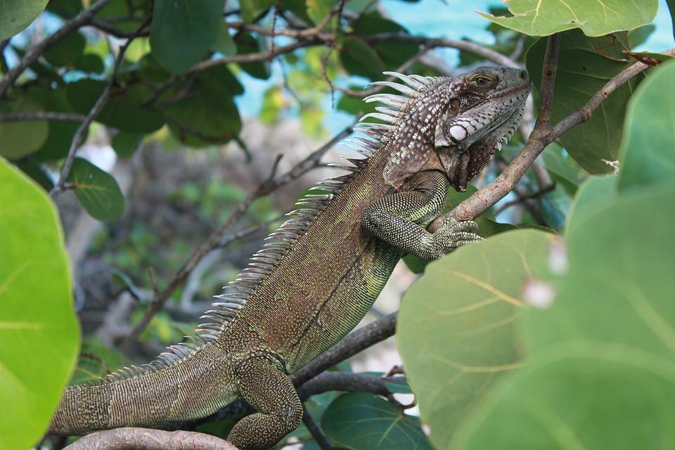 Iguana, Caribbean, Nature, Wildlife