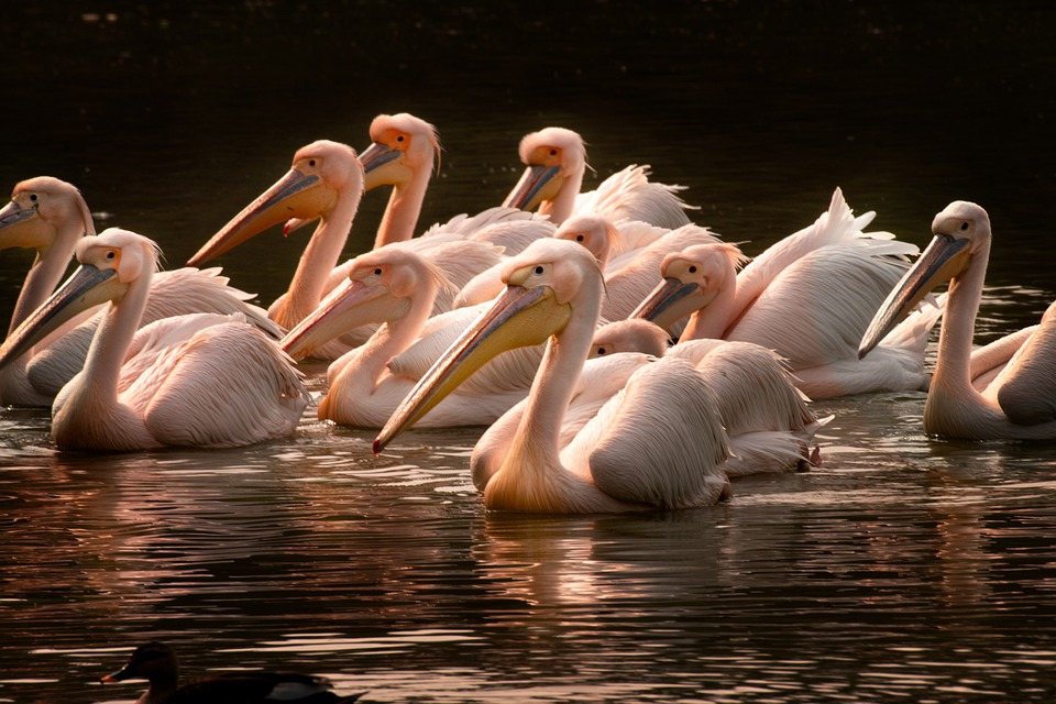 Pelicans, India, Bird, Nature, Wildlife