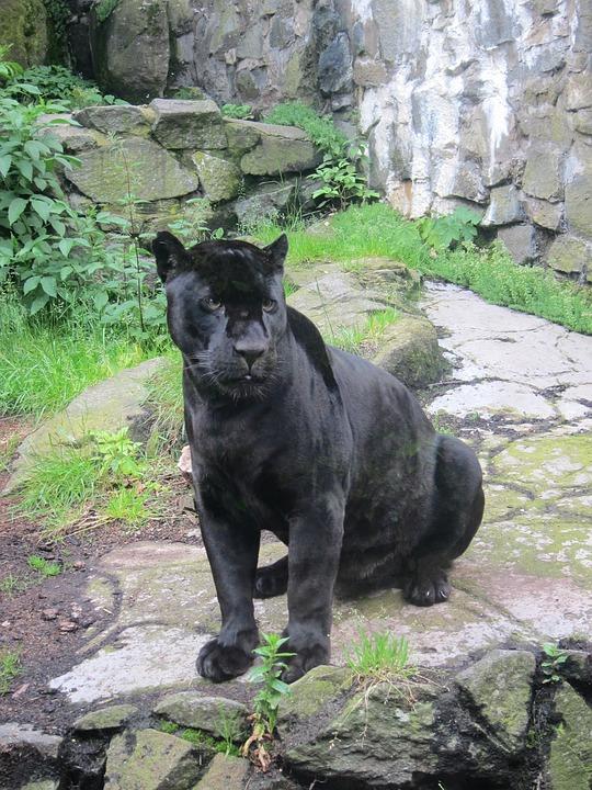 Jaguar, Animal, Wildlife, Nature, Wild, Cat, Rare