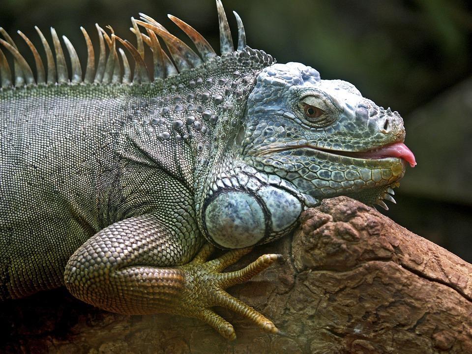 Iguana, Lizard, Animal, Brazil, Jungle, Wildlife