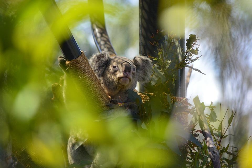 Koala, Bear, Zoo, Animal, Wildlife, Wild, Zoology