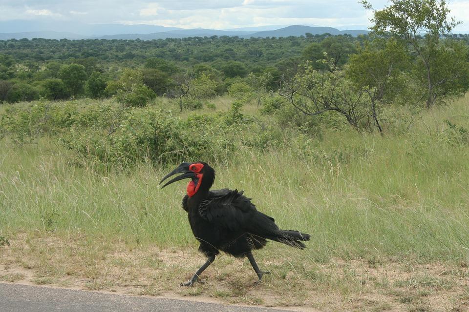 Bromvoël, Bird, Kruger National Park, Africa, Wildlife
