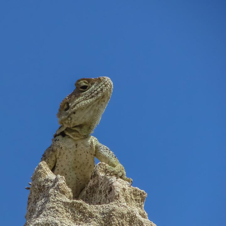Lizard, Kurkutas, Reptile, Fauna, Animal, Wildlife