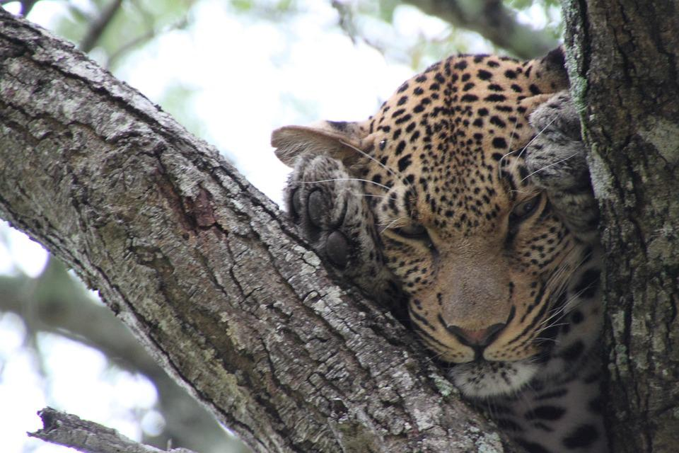 Nature, South Africa, Animals, Leopard, Wildlife