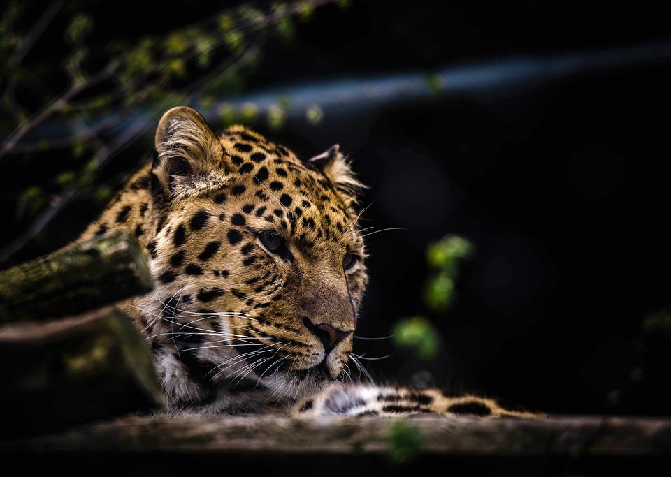Animal, Leopard, Big Cat, Wild Cat, Wildlife