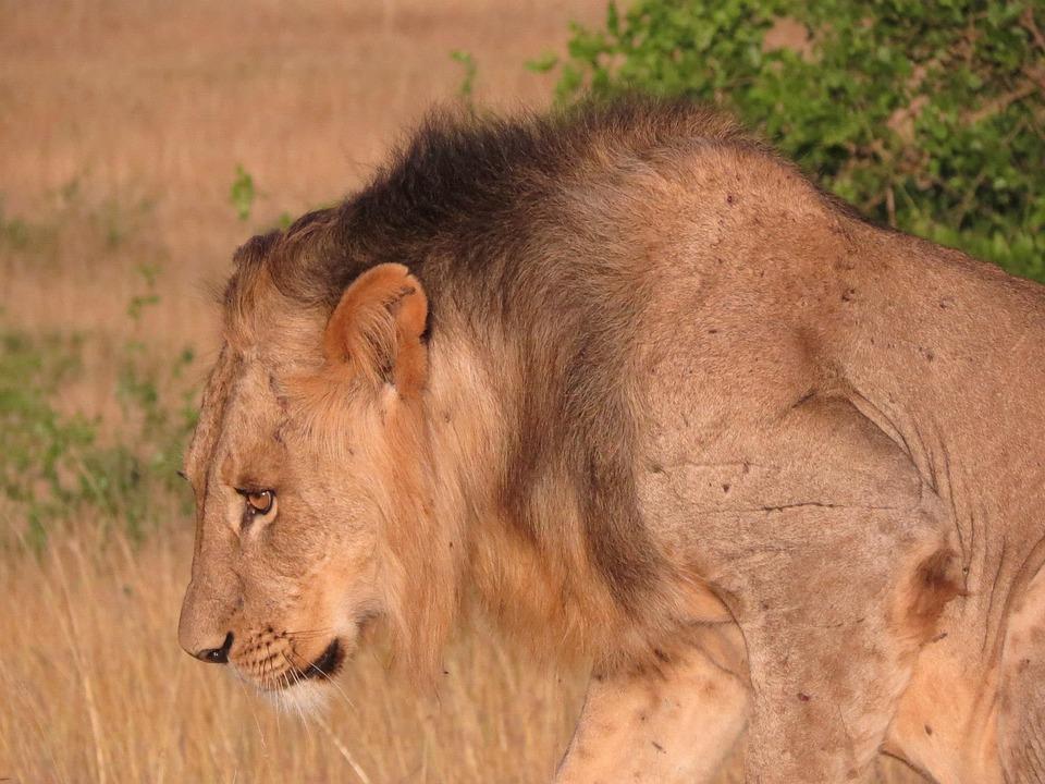 Lion, Savannah, Africa, Mane, Wildlife, Animal, Nature