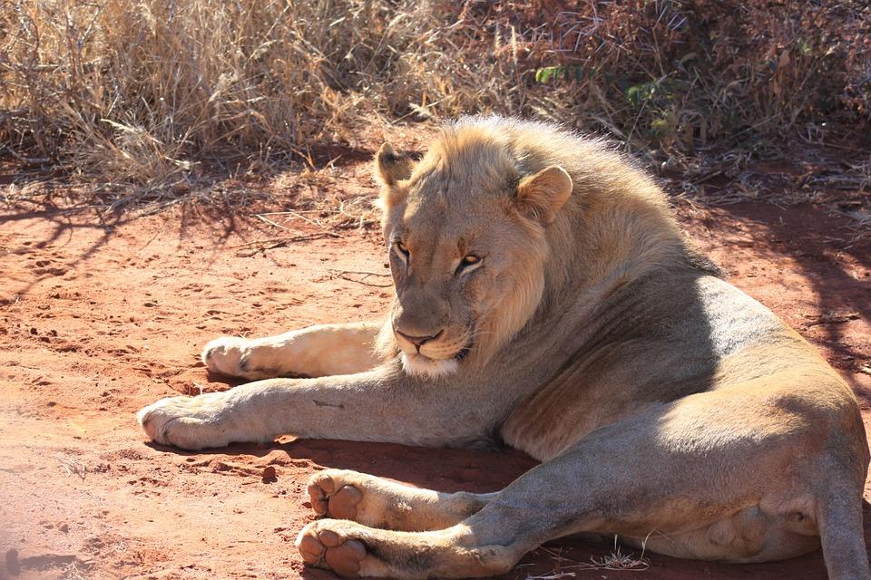 Lion, Africa, Safari, Wildlife