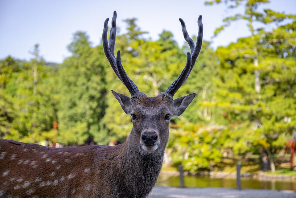 Deer, Animal, Forest, Young, Nature, Mammal, Wildlife