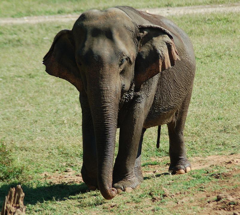 Elephant, Nature, Wildlife, Animal, Mammal, Young, Cute
