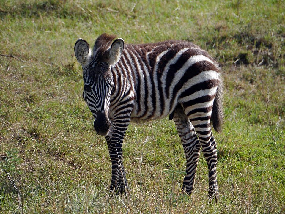 Zebra, Kenya, Safari, Wildlife, Mara, Young