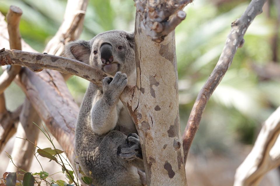 Koala, Marsupial, Animal, Wildlife, Wild, Zoology