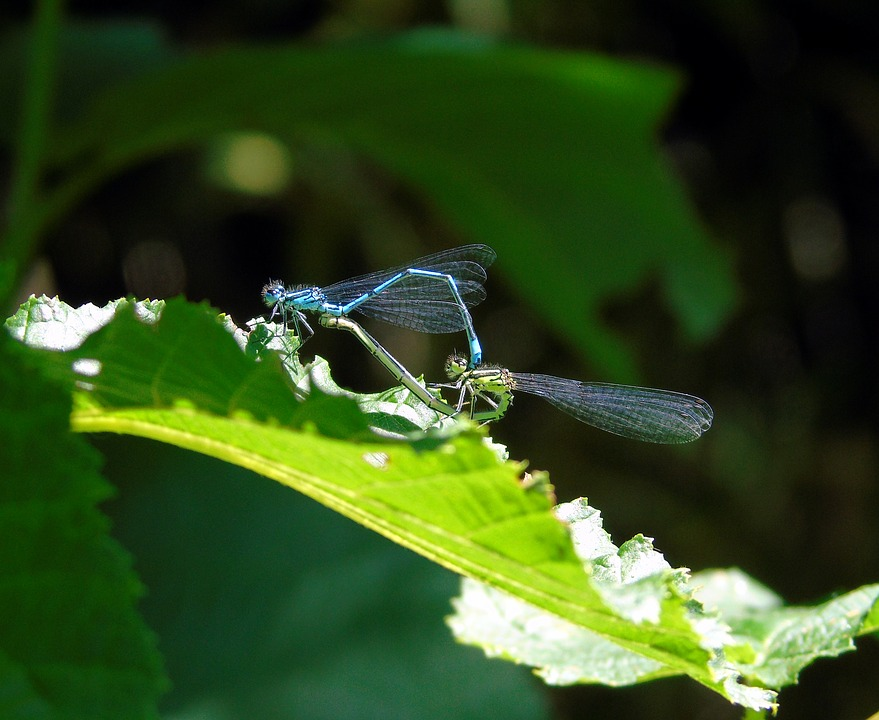 Dragonfly, Mating, Wildlife, Nature, Animal, Insect