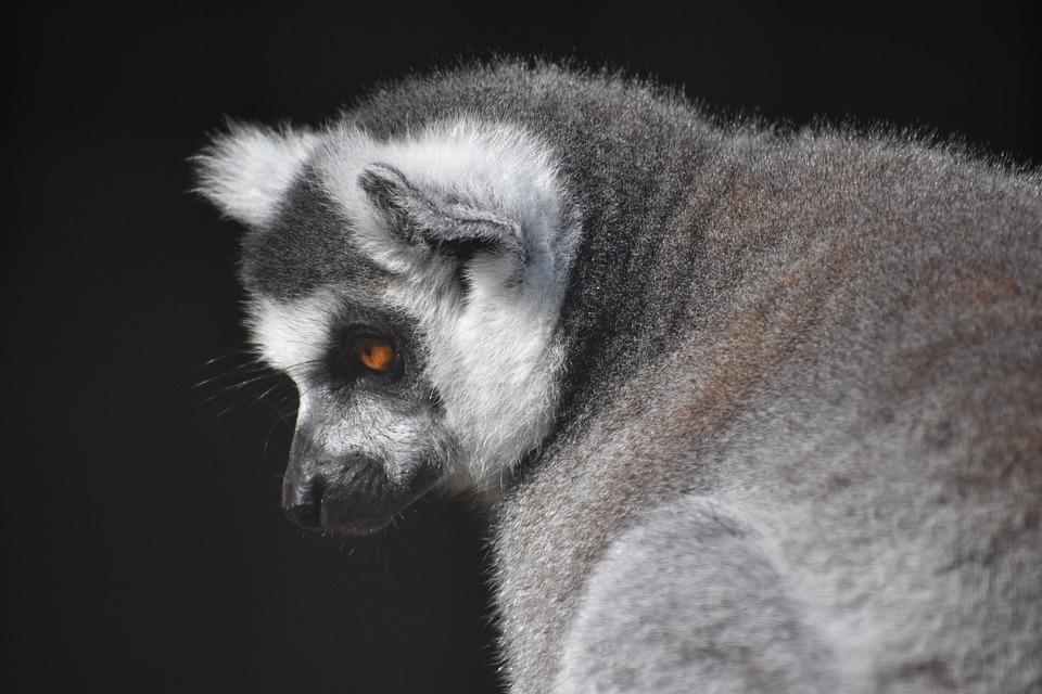 Mammal, Primate, Monkey, Wildlife, Animal