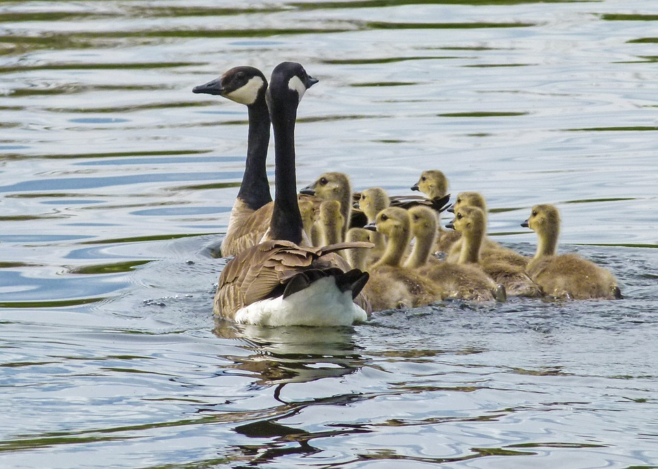 Canada Goose, Chicks, Young Geese, Nature, Wildlife