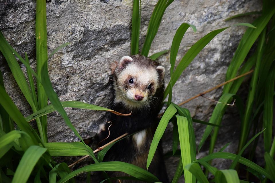 Polecat, Mustelid, Mammals, Wildlife, Nature, Head