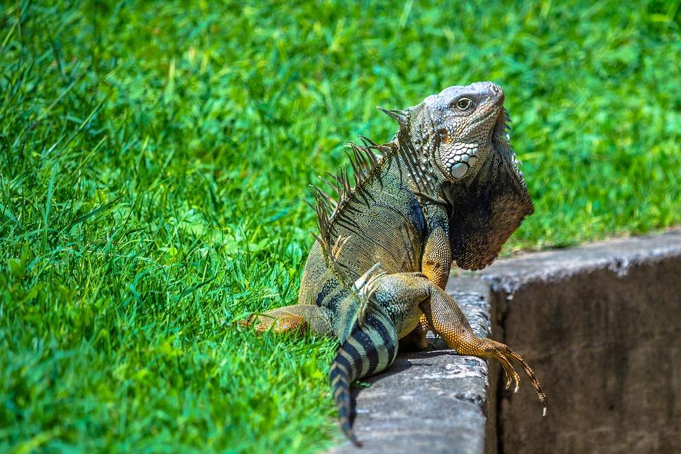 Iguana, Reptile, Wildlife, Animal, Nature, Tropical