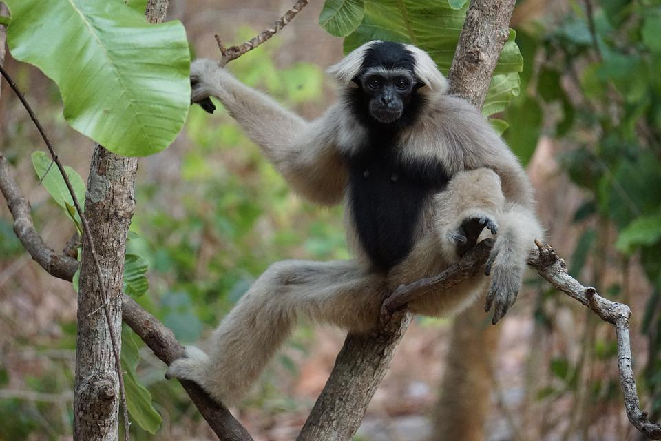 Monkey, Wildlife, Jungle, Nature, Animal