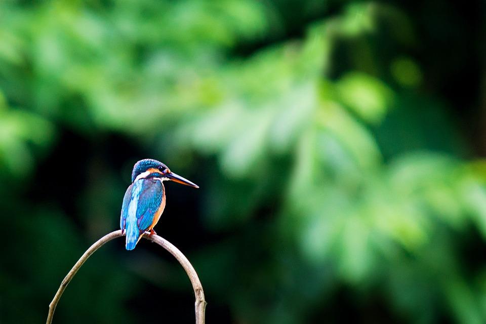 Kingfisher, Bird, Wildlife, Animal, Nature, Colorful