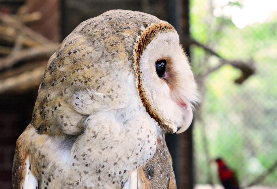 Animal, Nature, Wildlife, Bird, Wild, Portrait, Owl
