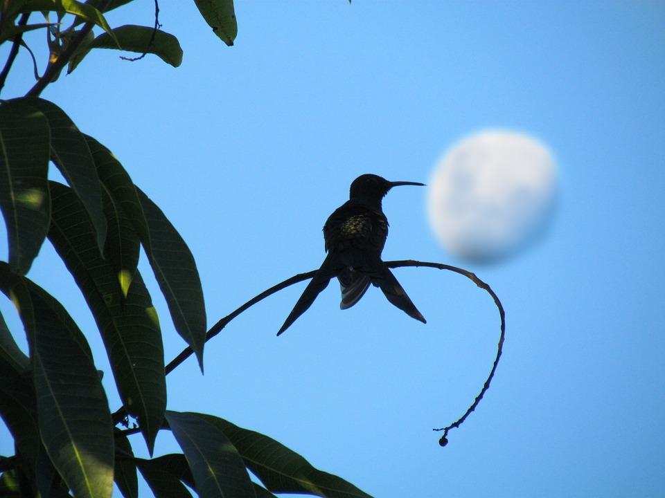 Hummingbird, Bird, Moon, Sky, Wildlife, Nature, Blue