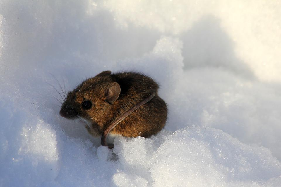 Winter, Mouse, Snow, Nature, Wildlife, Animal, Mammal
