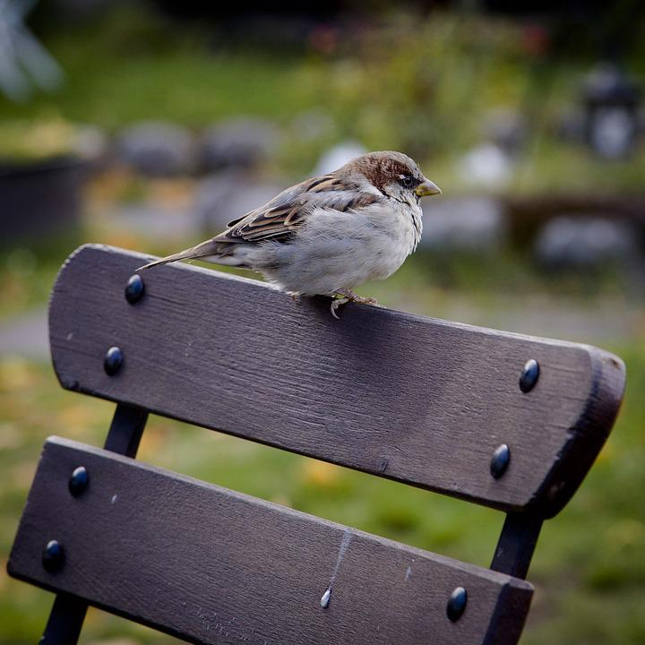 Sparrow, Bird, Animal, Nature, Wildlife, Bench, Park
