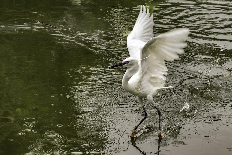 Bird, Water, Wildlife, Nature, Lake, Feather, Pool