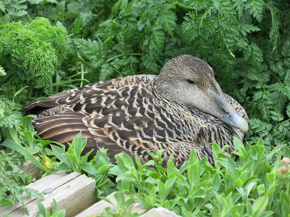 Eider, Duck, Bird, Beak, Waterfowl, Nesting, Wildlife
